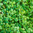 Clover texture background — Stock Photo