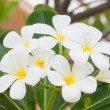 Plumeria flower — Stock Photo