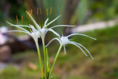 Crinum lily — Stock Photo