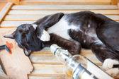 Drunk cat — Stock Photo