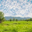 Stock Photo: Ricefield