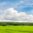 View of ricefield and hill of rubber plantation — Stock Photo #31515047