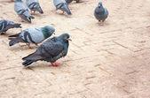 鸽子 — 图库照片