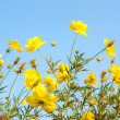 Stock Photo: Sulfur Cosmos flower
