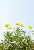 Sulfur cosmos flowers — Stock Photo