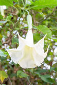 Angel's trumpets flowers — Stock Photo