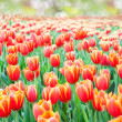 Tulip — Stock Photo #38886535
