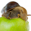 Snail and apple — Stock Photo