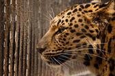 Carcere per leopard — Foto Stock