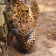 Panthera pardus leopard — Stock Photo
