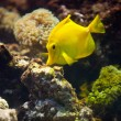 Yellow fish — Stock Photo