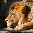 Pensive lion — Stock Photo