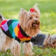 Yorkshire terrier — Stock Photo #29269797