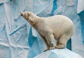 White bear — Stock Photo