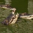 Crocodiles — Stock Photo #39080673