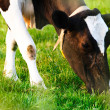 Cow Eating - Closeup — Stock Photo