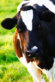 A Cow Looking at the Camera — Stock Photo