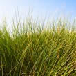 Sand Dune Grass — Stock Photo