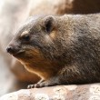 Adult rock hyrax — Stock Photo