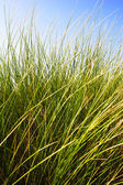 Tall green grass and blue sky — Stock Photo