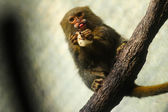 A Pygmy Marmoset Monkey — Stock Photo