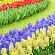 Dutch garden with hyacinthus orientalis flowers — Stock Photo