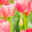 Blooming pink Dutch tulips, closeup — Stock Photo