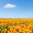 Field with blooming mixed color tulips — Stock Photo