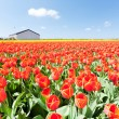 Stock Photo: Red tulips field and a farm in Holland