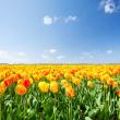Field with yellow and red tulips in Holland — Stock Photo