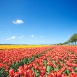 Colorful field with tulips and a blue sky — Stock Photo