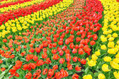 Large garden with blooming red and yellow tulips — Stock Photo