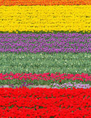 Field with colorful tulips at springtime — Stock Photo