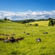 Cows lying in the grass — Photo