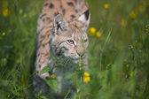 Lynx sneaking in the grass — Stock Photo
