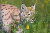 Chasse lynx dans l'herbe — Photo