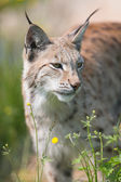 Lynx standing in the grass — Stock Photo