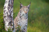 Proud lynx standing by a tree — Stock Photo