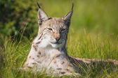 Proud lynx laying in the grass — Stock Photo