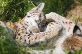 Deux lynx joue dans l'herbe — Photo