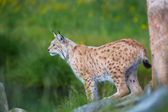 Proud lynx scout for prey — Stock Photo