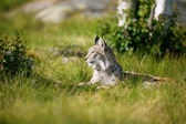Proud lynx in the grass — Stock Photo