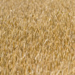 Barley Field — Stock Photo #28021745