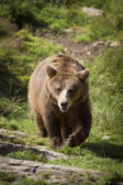 Walking Brown Bear — Stock Photo