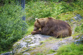 Big Brown Bear Eating Fish — Stock Photo