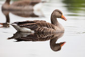 Greylag Goose in Water — Stock Photo