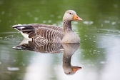 Greylag Goose and water reflections — Stock Photo