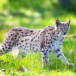 Lynx sneaking in green grass — Stock Photo #28076321