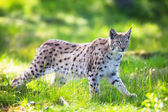 Lynx sneaking in the green grass — Stock Photo