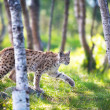 Lynx sneaking in forest — Stock Photo #28085119